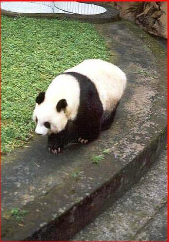 Panda velká - čínský poklad